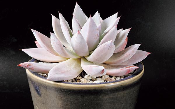 白い蓮を思わせる姿が神々しすぎる 人気の多肉植物とは?