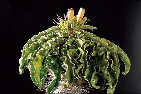 最大5mにも達する珍奇な『塊根植物』の最高傑作とは?