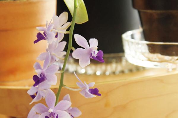 高層マンションでカトレアを咲かせる暮らし ~珍奇植物LIFEより~